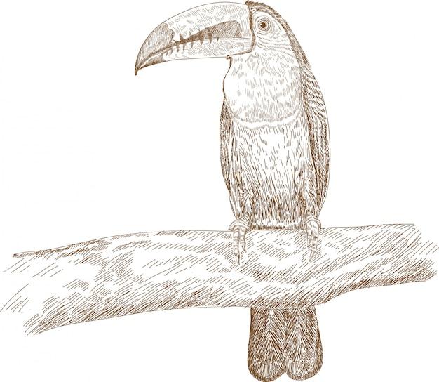Гравюра рисунок иллюстрация тукана киль ramphastos sulfuratus