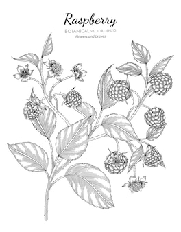 Raspberry botanical hand drawn illustration.