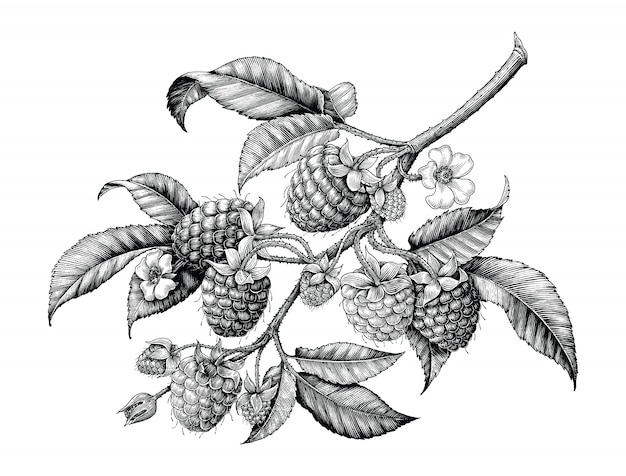 Raspberry branch hand drawing black and white vintage isolated on white background
