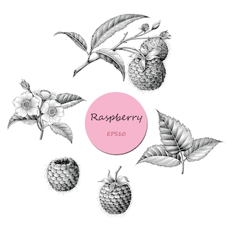 Raspberry fruit botanical collection hand draw vintage style black and white, isolated.