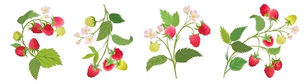 ラズベリーの果物、花、葉のベクトル水彩イラスト。ベリーの枝、白の植物の花の要素のベクトルセット