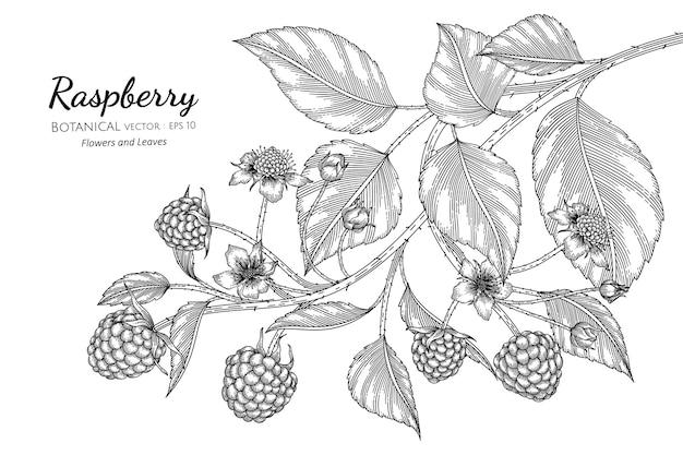 라즈베리 손으로 흰색 배경에 라인 아트와 식물 그림을 그려.