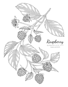 Raspberry hand drawn botanical illustration with line art on white backgrounds.