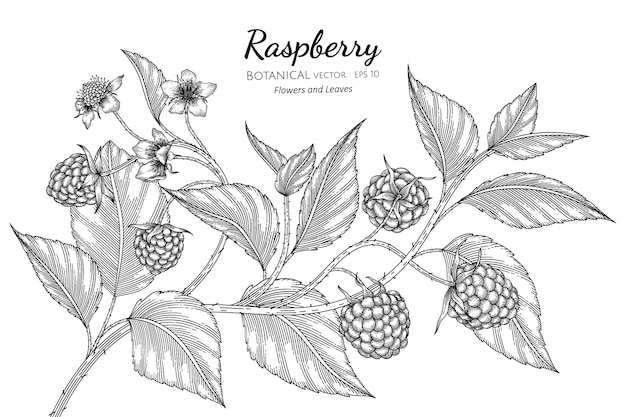Raspberry hand drawn botanical illustration with line art on white.