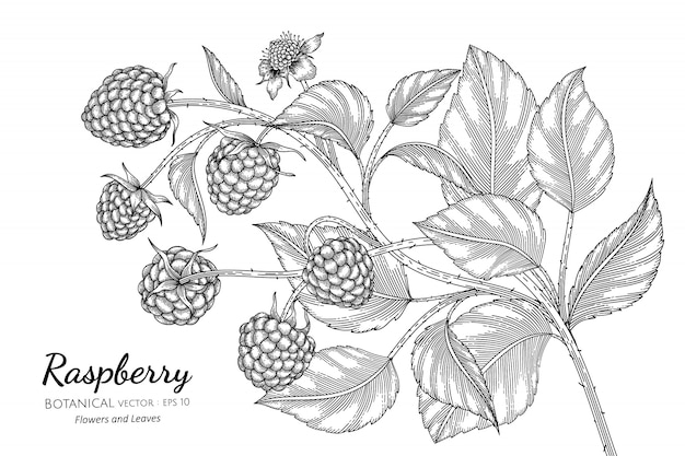 Raspberry hand drawn botanical illustration with line art