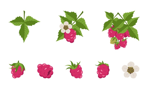 Raspberry with leaves and flowers, individual berries and twigs