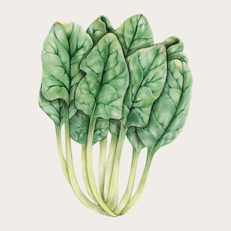Raw chard in hand drawn style