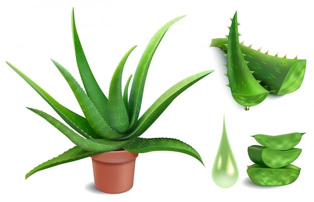 현실적인 알로에 공장. 알로에 베라 약 화분, 녹색 잘라 조각과 나뭇잎 조각, 미용 식물학 주스 방울 그림을 설정합니다. 녹색 식물 허브, 건강 관리를위한 건강한 즙