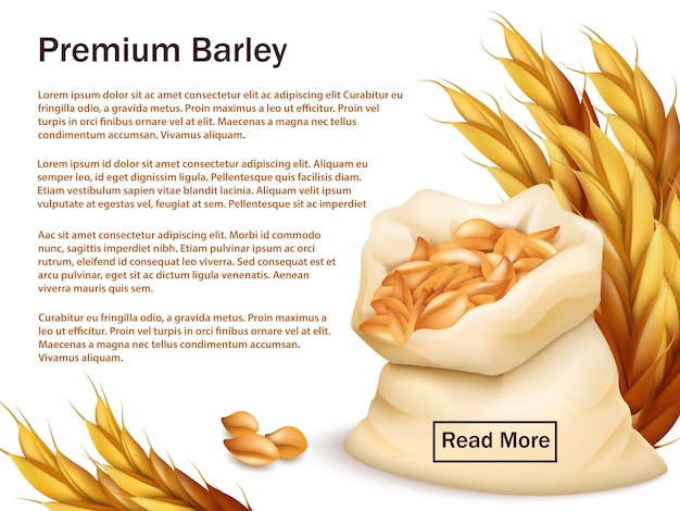 Realistic barley, ears and grains isolated on white