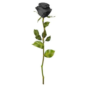 Realistic black rose.
