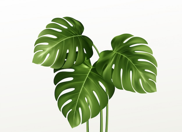 Realistic bright green leaves of monstera  on  background.