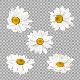 Realistic chamomile flowers set