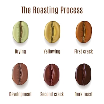 Realistic coffee beans isolated on white background. stages of roasting process illustration