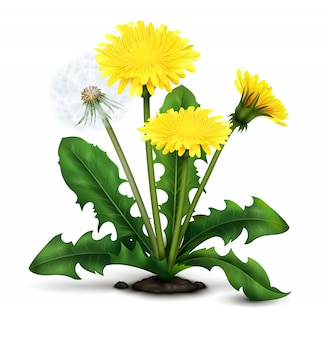 Realistic dandelion illustration