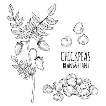 Realistic drawn chickpea beans