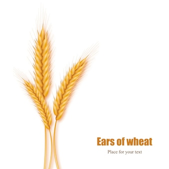 Realistic ears of wheat on a white background with space for text