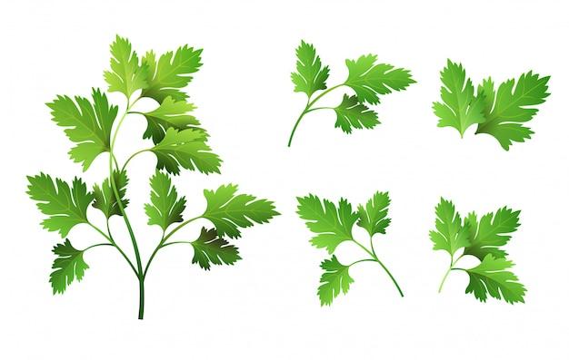 Realistic fresh parsley leaf herb