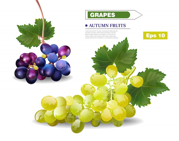 Realistic grapes vine template