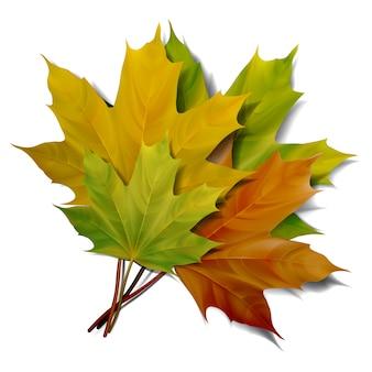 Реалистичные зеленые и желтые кленовые листья на белом фоне. ,