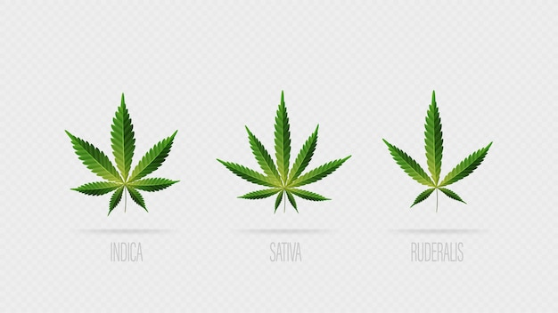 Realistic green leaves of cannabis. set of cannabis leafs, sativa, indica and ruderalis isolated on a white background