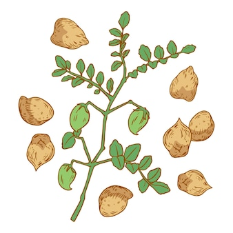 Realistic hand-drawn chickpea beans and plant illustration