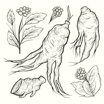 현실적인 손으로 그린 인삼 식물 수집