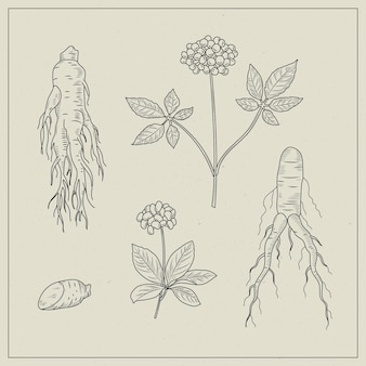 Realistic hand drawn ginseng plant collection
