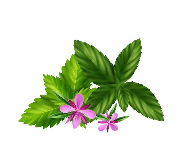 Realistic herbal or green tea ingredients with melissa leaves and willow herb flowers