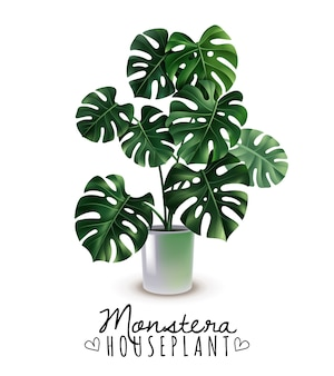 Realistic house plant monstera with carved leaves in glossy pot isolated on white