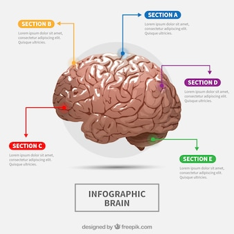 Realistic human brain infographic with colorful options