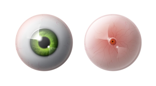 Realistic human eye ball with green iris front, back view close up isolated on gray background
