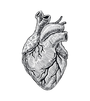 Realistic human heart in hand drawn