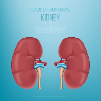 Realistic human organs. the kidneys. realistic kidney model on a blue background