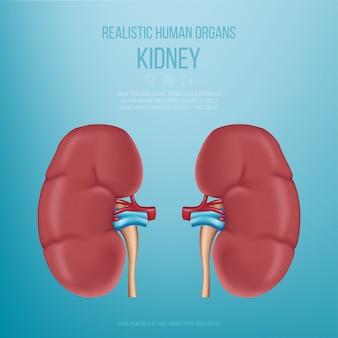 現実的な人間の臓器。腎臓。青色の背景に現実的な腎臓モデル