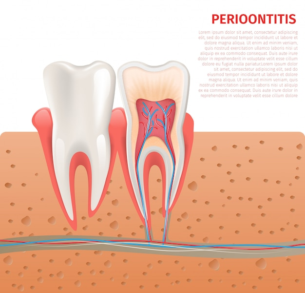Realistic illustration tooth anatomy in 3d vector