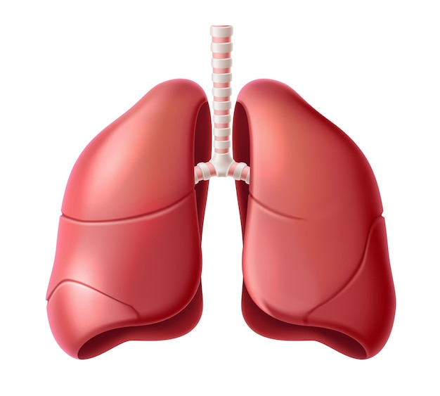 Realistic lungs anatomy structure.  respiration system organ.