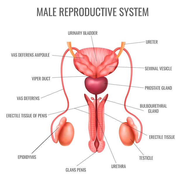 Realistic male reproductive system and its parts labelled