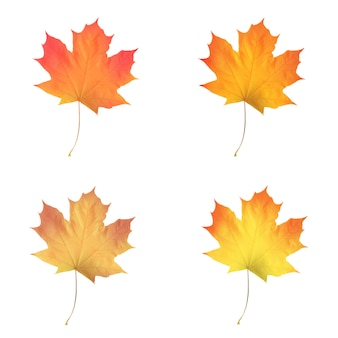 Realistic maple leaves isolated on white