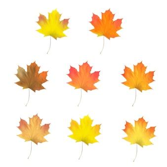 現実的なカエデの葉の分離