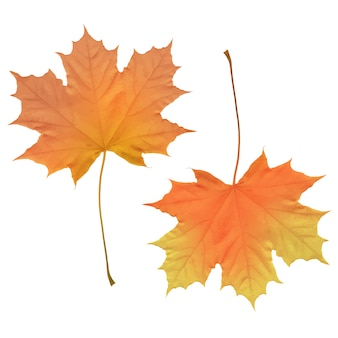 Realistic maple leaves isolated