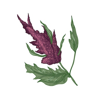 Realistic natural drawing of quinoa or amaranth plant with blooming plant or inflorescence.