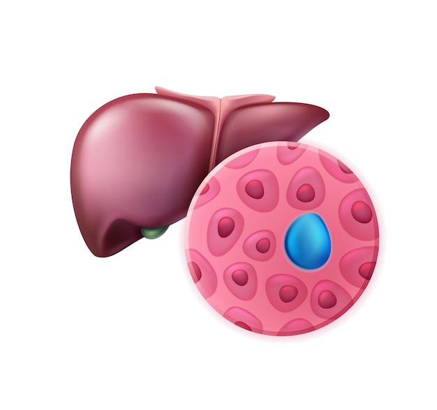 세포와 현실적인 분홍빛이 도는 건강한 간은 전면보기를 닫습니다