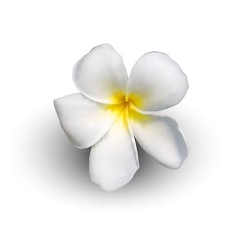 Realistic plumeria flower