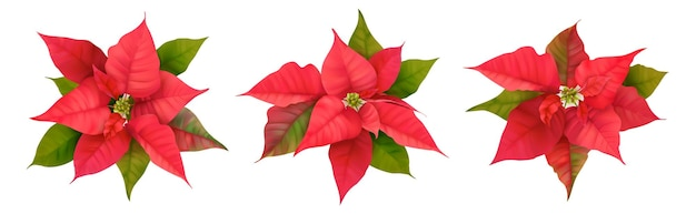 Realistic poinsettia 3d vector flowers. winter christmas flower isolated on white for card design, greetings, new year holiday party invitation, template cover