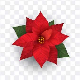 Realistic poinsettia flower isolated