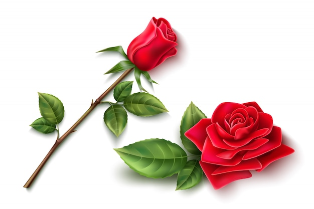 Realistic red rose flower with open blossom, stick with thorns and green leaves