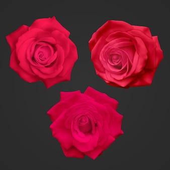 어두운 배경에 고립 된 현실적인 빨간 장미 프리미엄 벡터