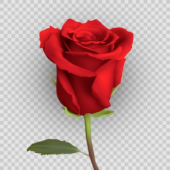 Realistic rose design isolated on background,