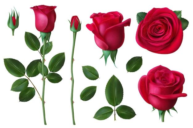 현실적인 장미. 개 장미 꽃의 꽃잎과 꽃 봉오리, 결혼식과 발렌타인 데이 인사말 카드 벡터 세트를위한 낭만적 인 꽃 장식. 그림 꽃 꽃, 꽃 장미 꽃 봉오리와 꽃잎