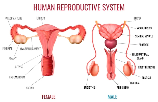 Realistic set of male and female human reproductive system with labelled parts